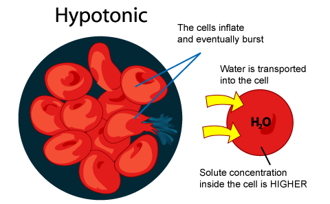 how do hypotonic hypertonic and isotonic solutions affect the water movement of a cell A hypertonic solution will do just the opposite to a cell since the concentration of solutes is greater outside of the cell than inside for both human and plant cells, the water will rush out of.